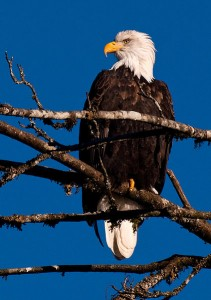 An adult bald eagle sitting in a tree