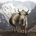 A photo of a wild yak in the highlands of Central Asia.