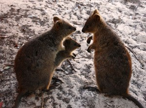A family of quokkas found on Rottnest Island (Western Australia)