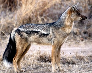 A side-striped jackal.