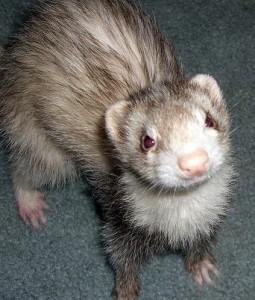 A pet ferret