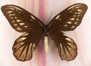 The largest butterfly in the world - Queen Alexandra's birdwing.