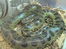 A green anaconda.