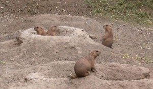 A family of prairie dogs outside their burrow.