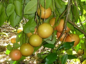 A grapefruit tree with a number of fruit.