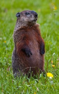 A groundhog standing on the grass