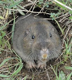 A pocket gopher