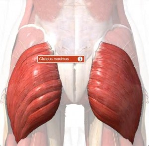 The gluteus maximus muscle