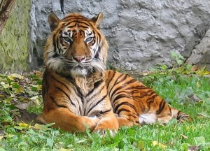 A tiger in captivity.