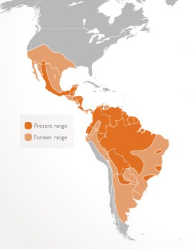 distribution of the jaguar