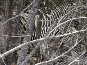 Zebra camouflaged behind dead trees