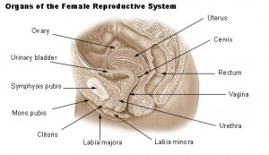 Diagram of the female reproductive system showing the location of the bladder.