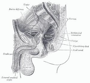 Diagram of the male reproductive system with bladder labeled.