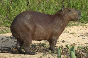 A wet capyvara in the wild