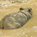 A Sumatran rhino walking in a river.