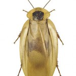 The Central American giant cockroach