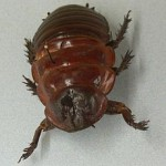 The Australian giant burrowing cockroach