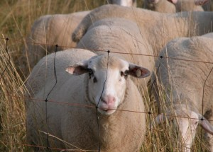 A flock of sheep behind a fence.