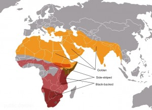 A map showing the range of the threee species of jackal.