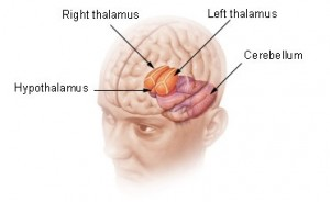A diagram showing the location of the hypothalamus