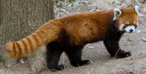 A red panda walking.