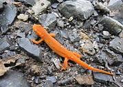 A newt