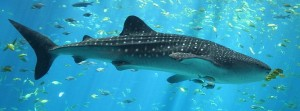 A whale shark in an aquarium